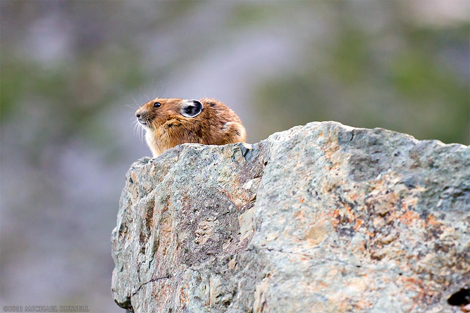 american pika Ochotona princeps taylori in the mount baker wilderness