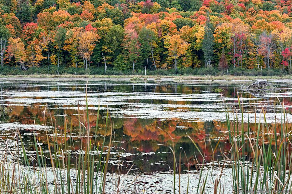 fall foliage at the beaver pond in gatineau park