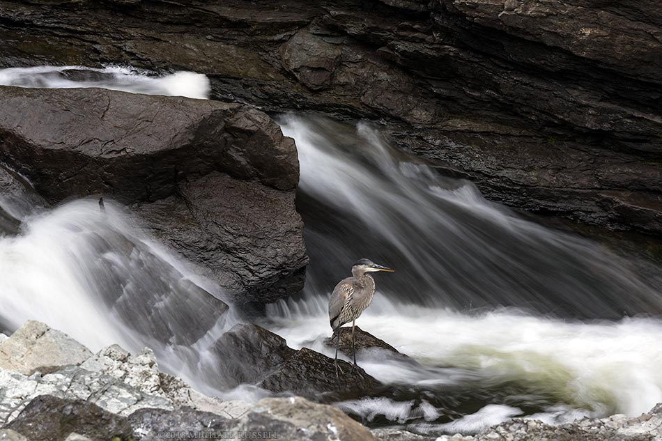 great blue heron at hogs back falls ottawa