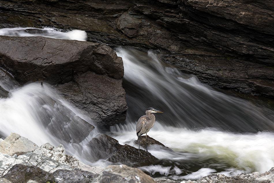 great blue heron at hogs back falls ottawa