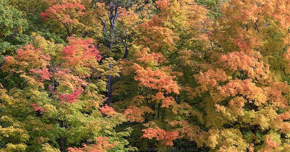 fall maple foliage colour in gatineau park