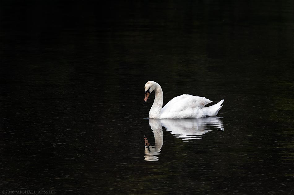 mute swan at fulford harbour salt spring island