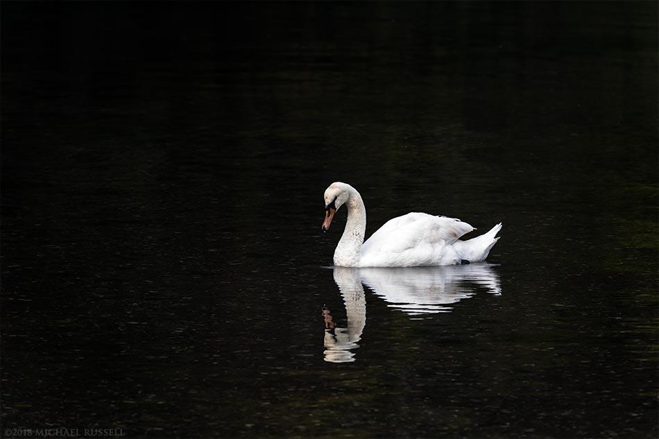 mute swan at fulford harbour salt spring island