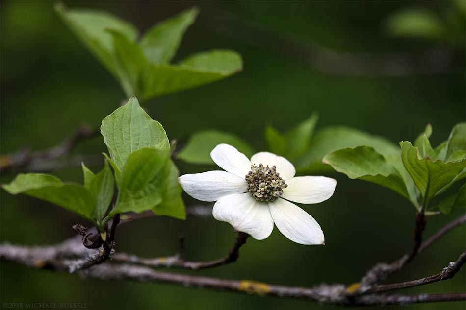 pacific dogwood flower cornus nuttallii