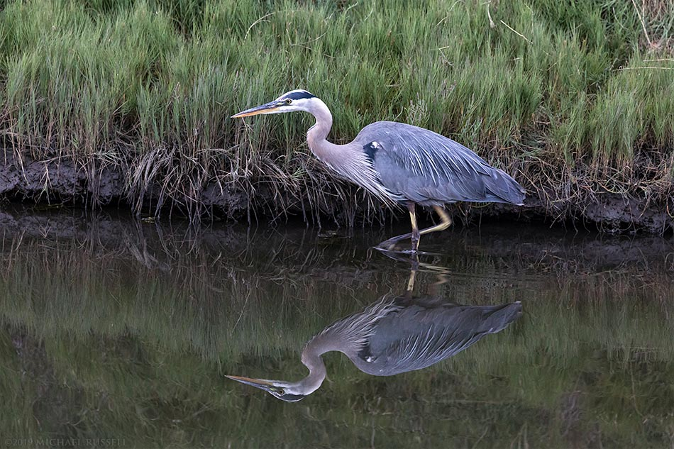 great blue heron wading at blackie spit