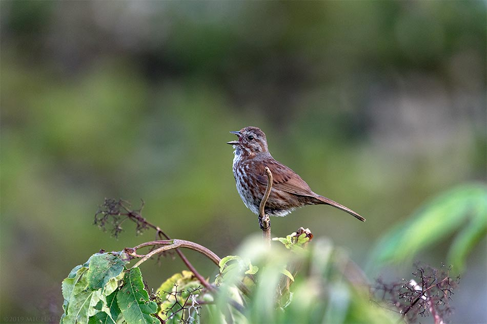 song sparrow melospiza melodia singing at blackie spit