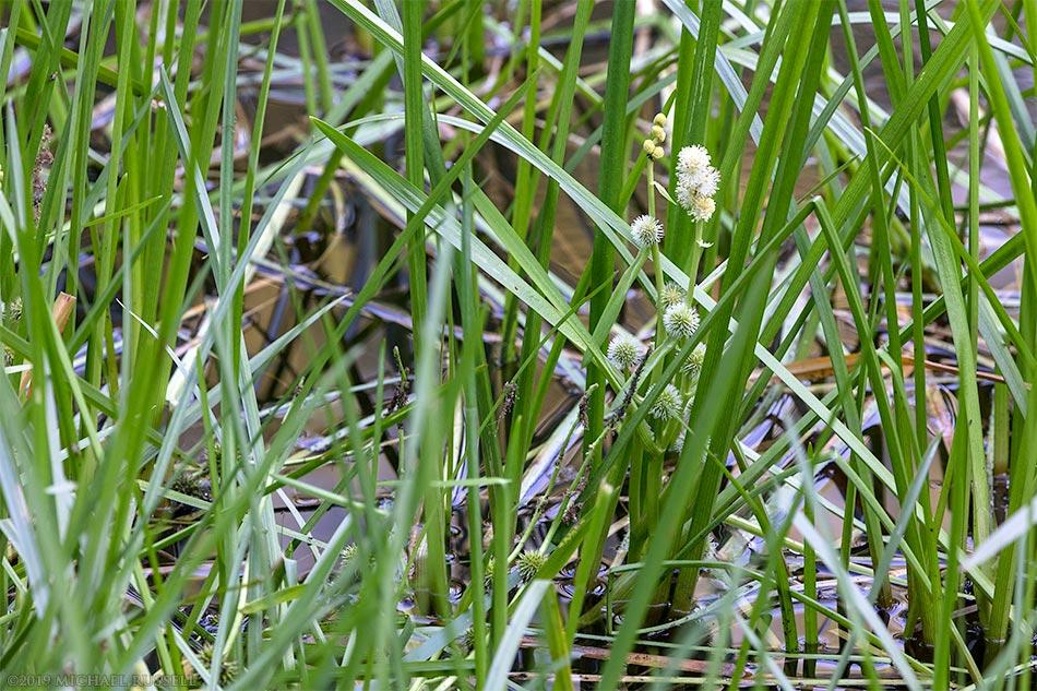 bur reed flowers at godwin farm biodiversity preserve