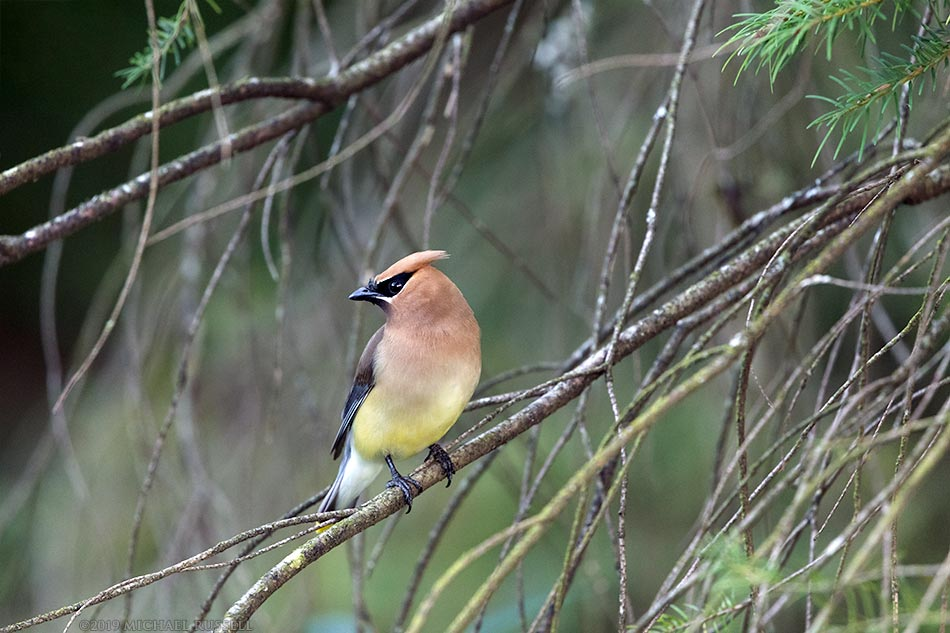 cedar waxwing at godwin farm
