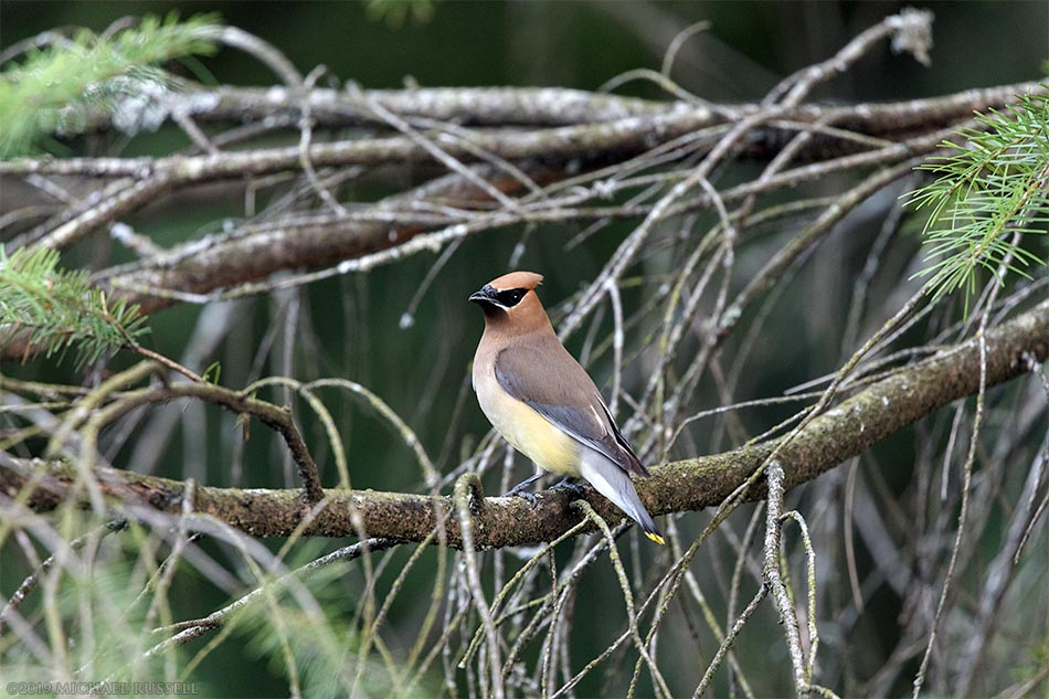 cedar waxwing bombycilla cedrorum at godwin farm