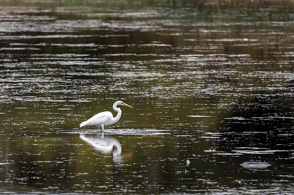 great egret ardea alba fishing in lake st. lawrence