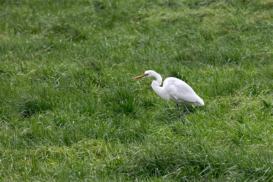 great egret ardea alba hunting for earthworms in the fraser valley of british columbia