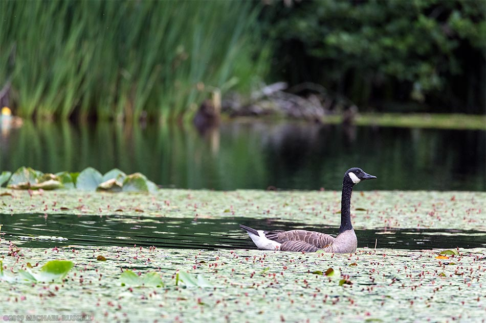 canada goose in mclean pond at campbell valley park