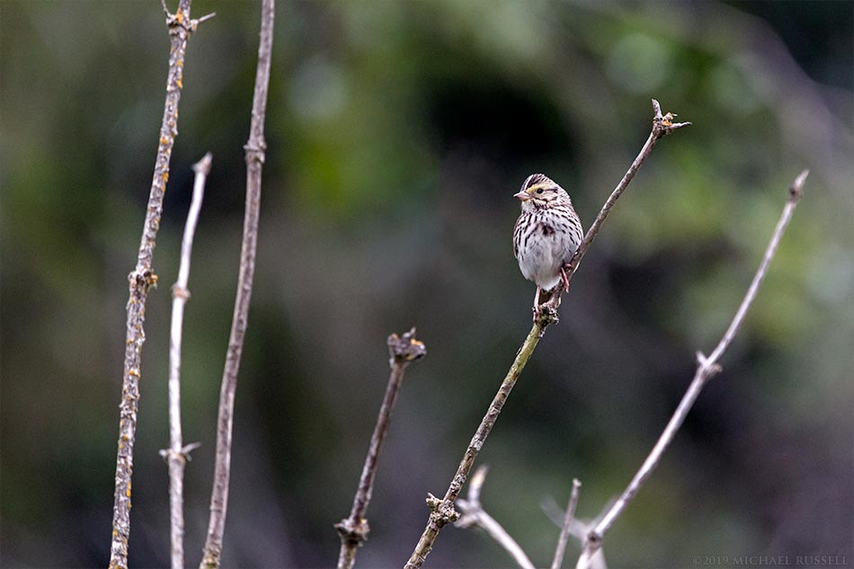 dwarf savannah sparrow in campbell valley park