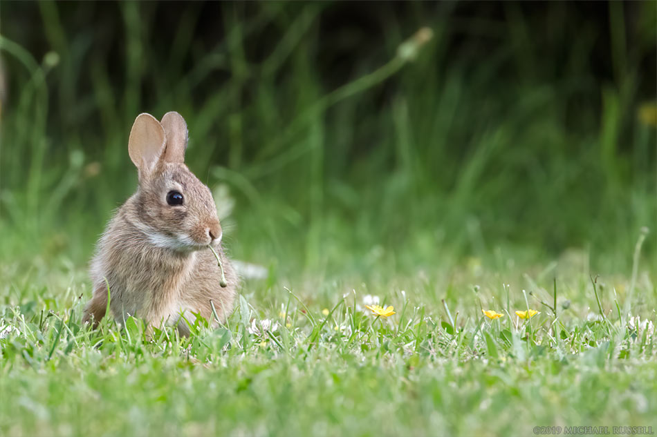 baby eastern cottontail sylvilagus floridanus eating hawksbeard stems