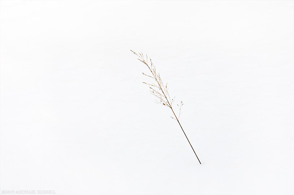 grass seed stalk poking up through snow