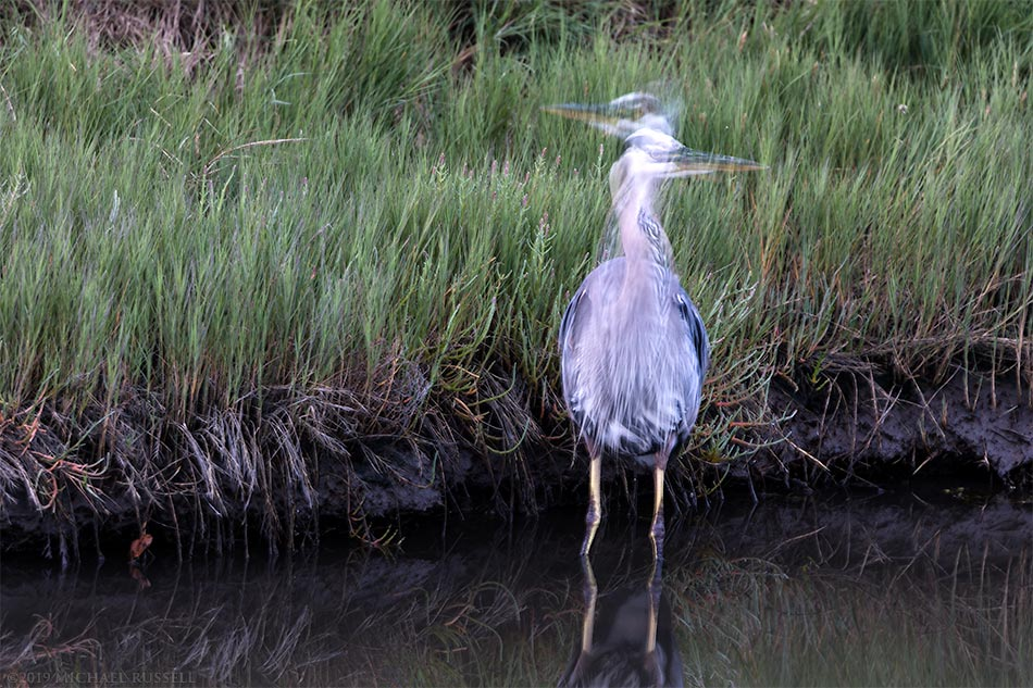 great blue heron searching for food and looking both ways