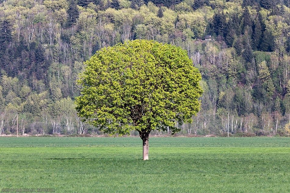 maple tree farm field agassiz