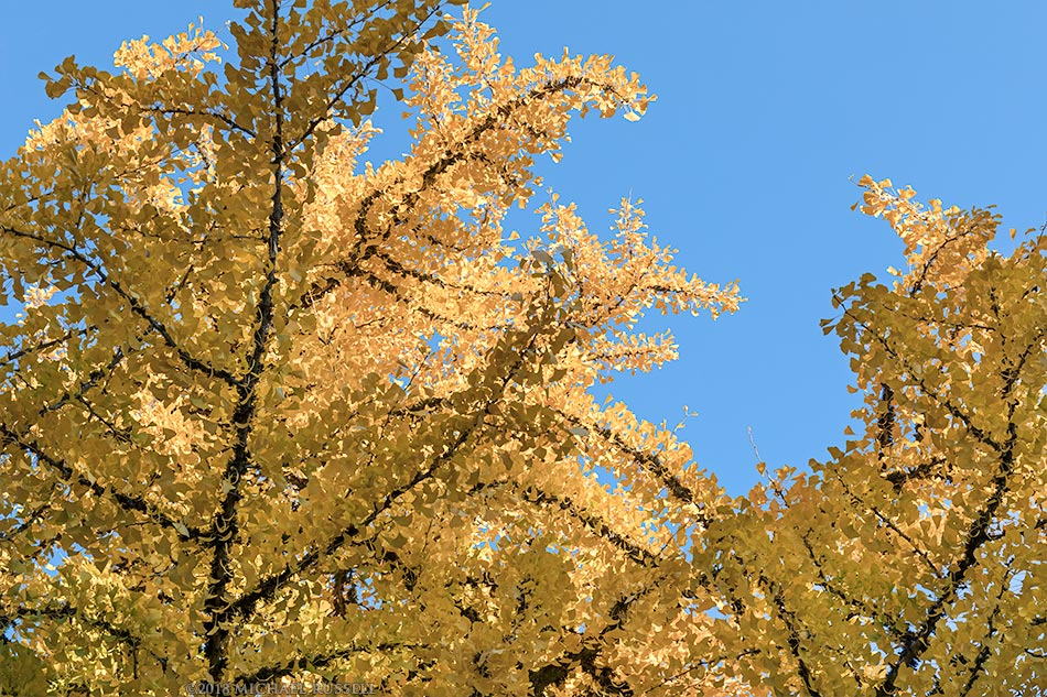 yellow gingko leaves at queen elizabeth park in vancouver