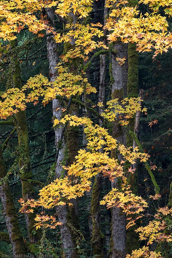 fall foliage of bigleaf maple on salt spring island
