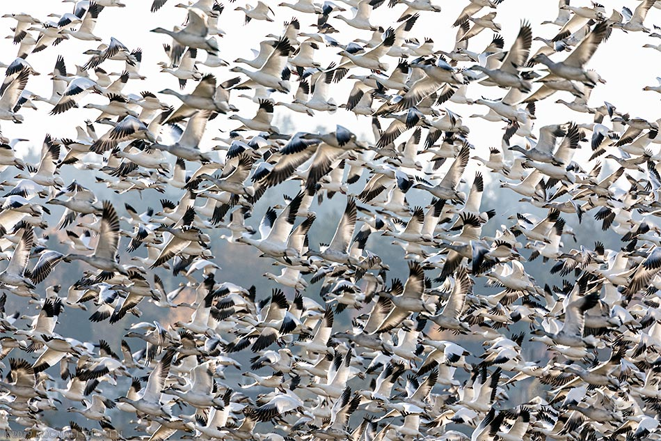 snow geese flock flying in delta bc