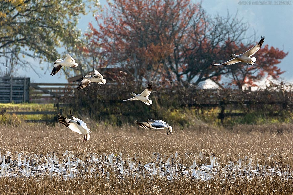 snow geese landing in a farmers field