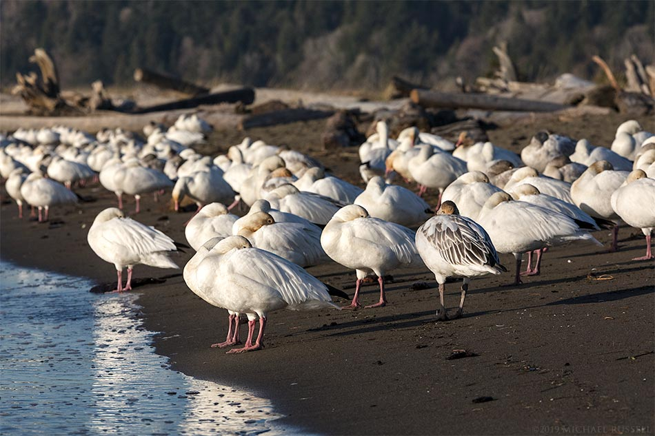 snow geese flock resting at iona beach