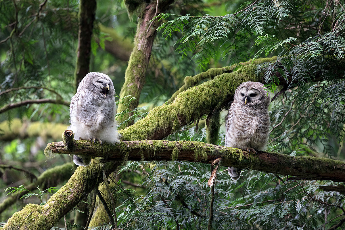 barred owl owlets fledglings perched begging call