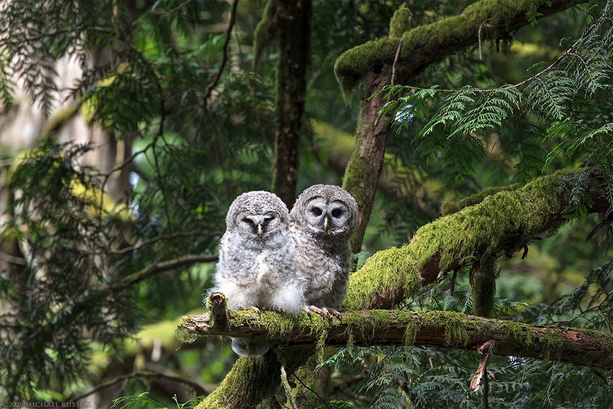 barred owl owlets fledglings watching