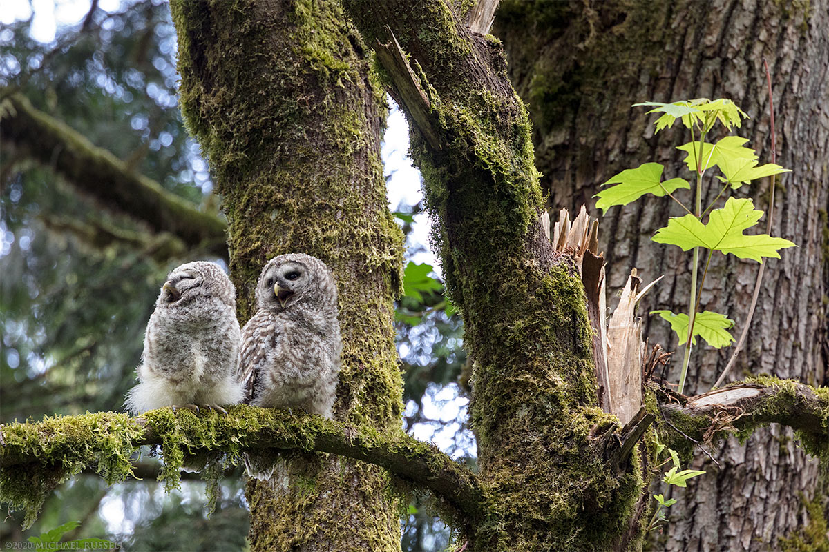 barred owl owlets fledglings perched in a bigleaf maple tree