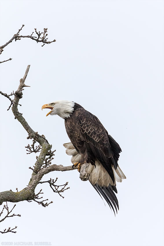 adult bald eagle stretching in a tree