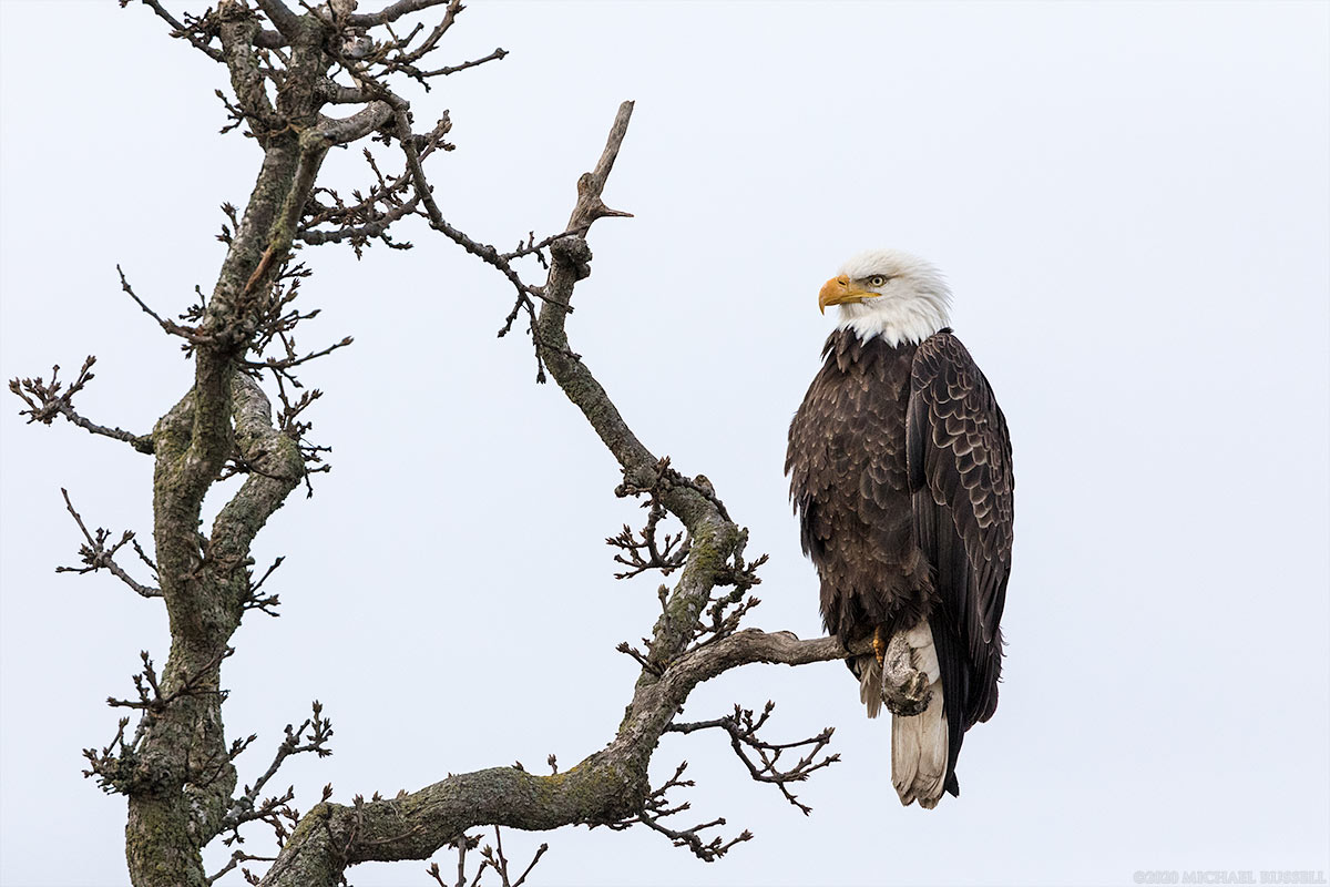 adult bald eagle perched in a tree at boundary bay