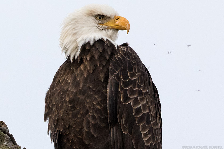 small insects flying around an adult bald eagle