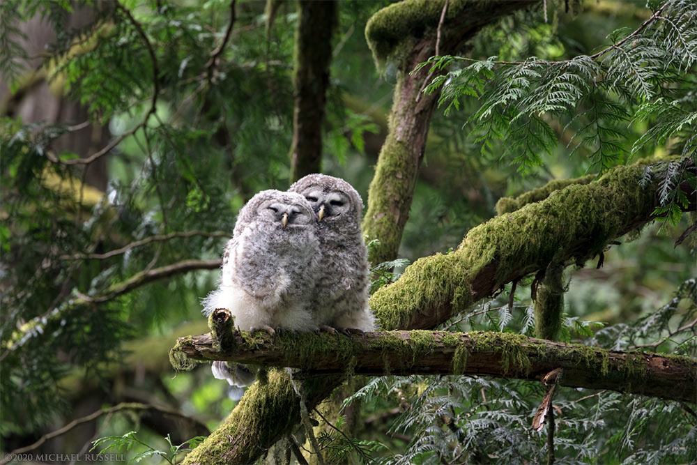 barred owl babies snuggling on a branch