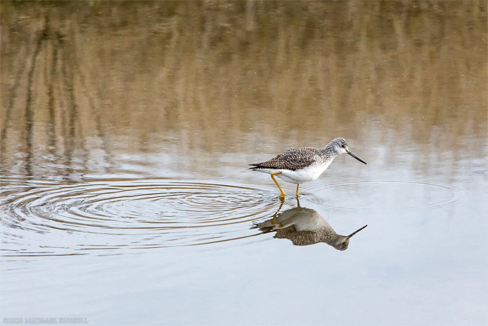 greater yellowlegs looking for food at blackie spit