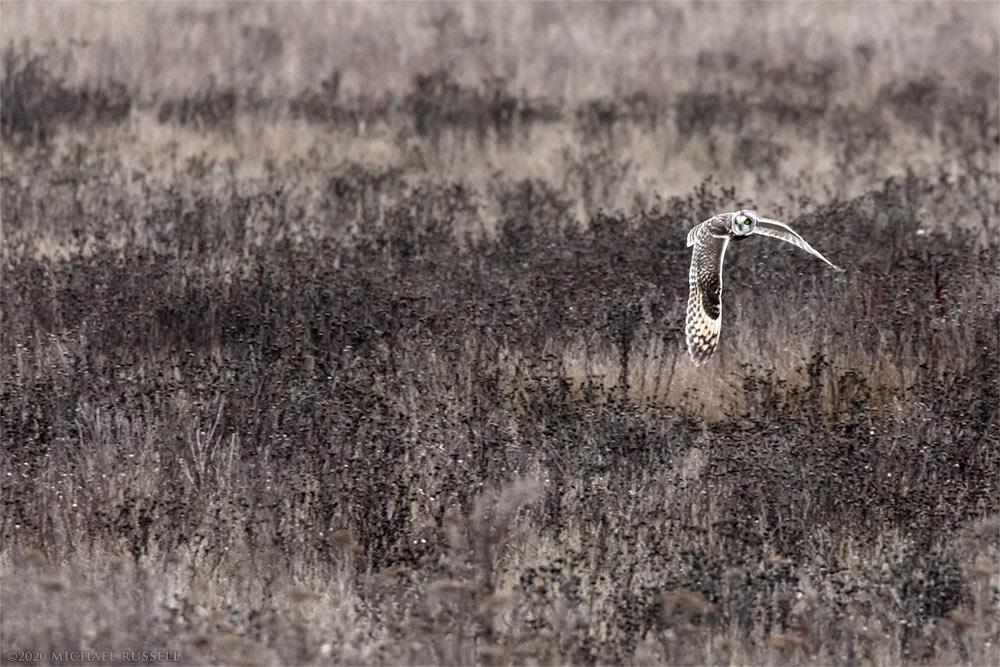 short-eared owl asio flammeus at boundary bay